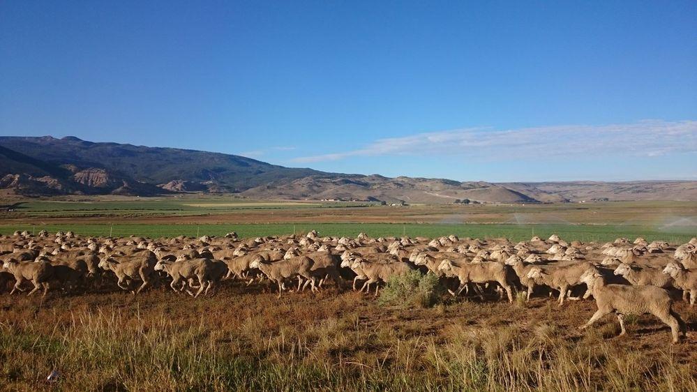 sheeps_min.jpg