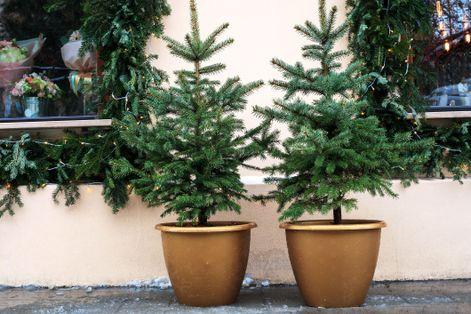 potted-christmas-tree-1604669232