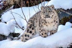 snow leopard.jfif