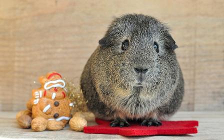 guinea-pig-klein.jpg