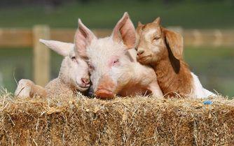 Farm-Sanctuary-Pig.jpg