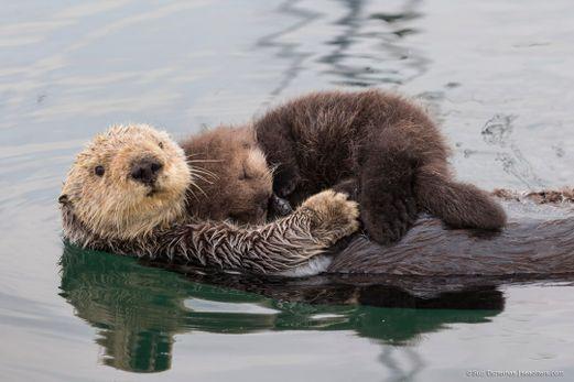 1080x720-cute-sea-otter-mom-newborn-pup-02