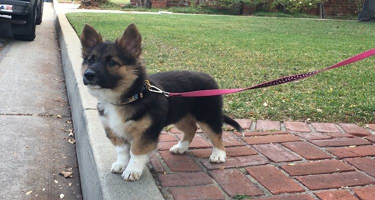 corgi-german-shepherd-mix